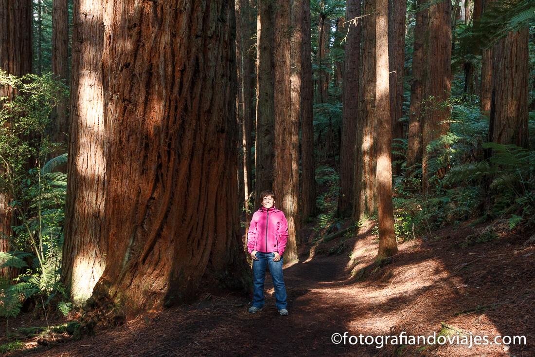 Redwoods Whakarewarewa forest. secuoyas