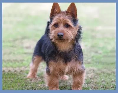 australian terrier puppies , australian terrier for sale , australian terrier mix , australian terrier rescue ,australian terrier alberta,  australian terrier welpen , australian terrier züchter