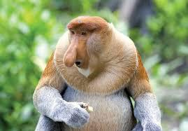 proboscis monkey facts