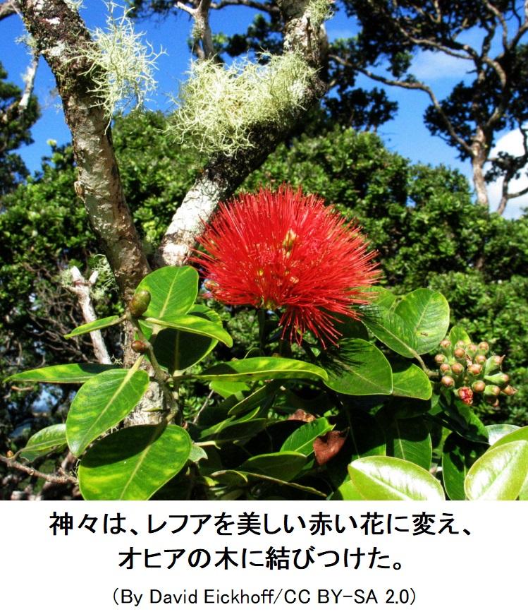 は と の オヒア 木