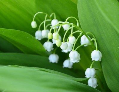 Lily of The Valley memiliki aroma harum yang lembut, sehingga bunga ini banyak digunakan dalam produksi parfum.