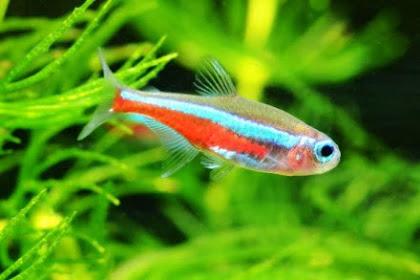10+ Rekomendasi Ikan Aquascape Terindah