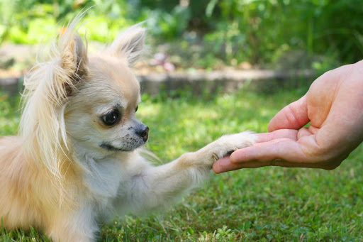 Chihuahua giving paw