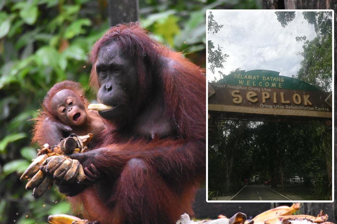 Bermesra Dengan Orangutan Sepilok