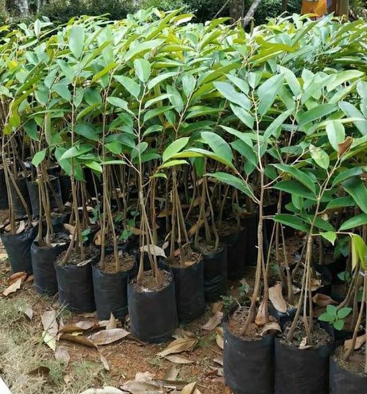 bibit durian kaki 3 bawor okulasi cepat berbuah Sumatra Selatan