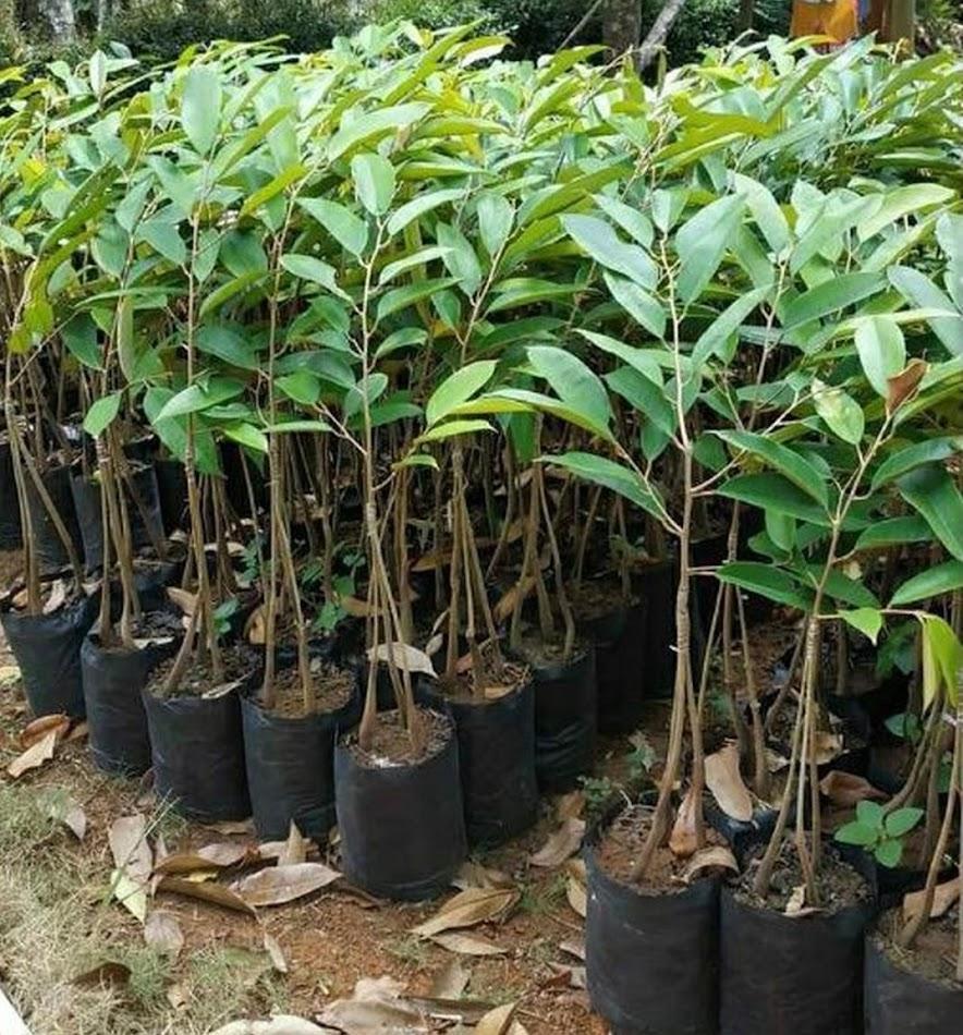 bibit durian kaki 3 bawor okulasi cepat berbuah Kalimantan Selatan