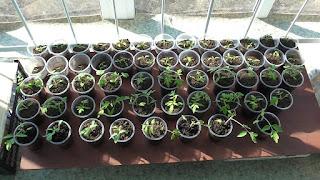 Моя рассада помидоров в середине апреля