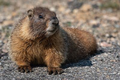 Yellow-Bellied Marmot, Mount Evans