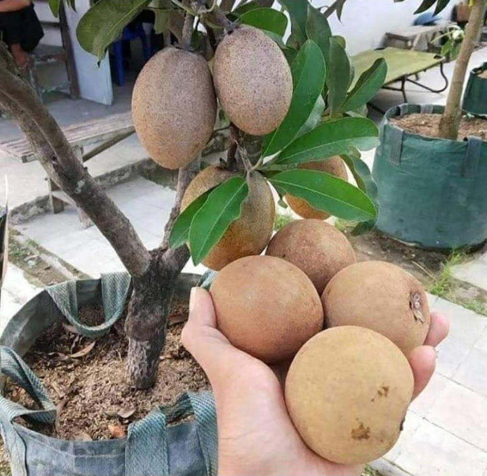 bibit buah sawo jumbo Sumatra Selatan