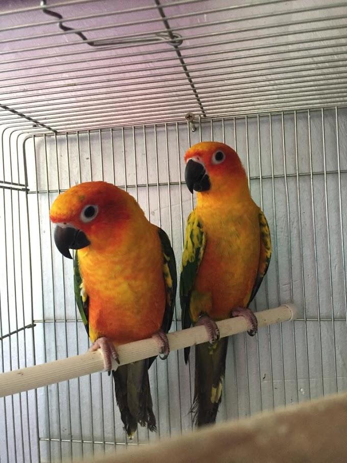 ابوعلي لبيع طيور  الصن كنيور Sun Conure