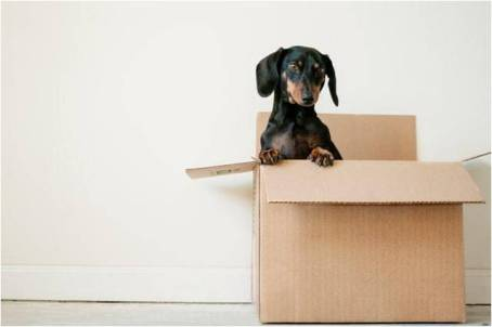 A dog sitting in a moving box.