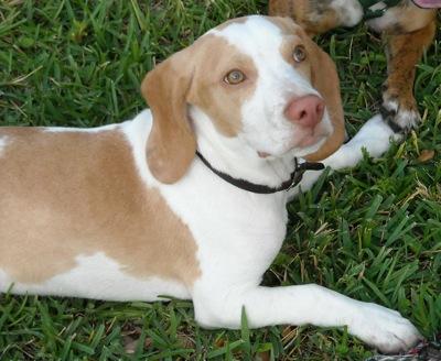 RIVIERA DOGS: i'lemon  |Lemon Beagle Puppies