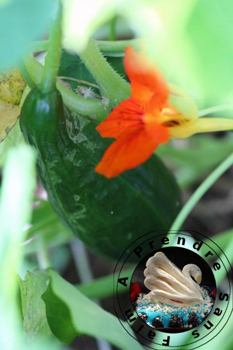 Tout savoir sur les concombres (pas à pas en photos)