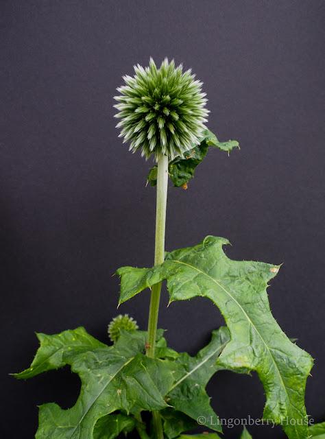 lingonberryhouse, kukka, flower, mitä on rakkaus, kotiliesi, lehti, photography, valokuvaus