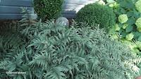 A fern native to Australia - Anne's garden, Stratford, CT