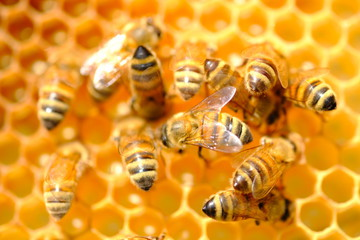 القيمة الصحية لغذاء ملكات النحل (رويال جيلي)