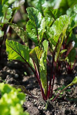 kỹ thuật trồng củ dền đỏ hữu cơ tại nhà