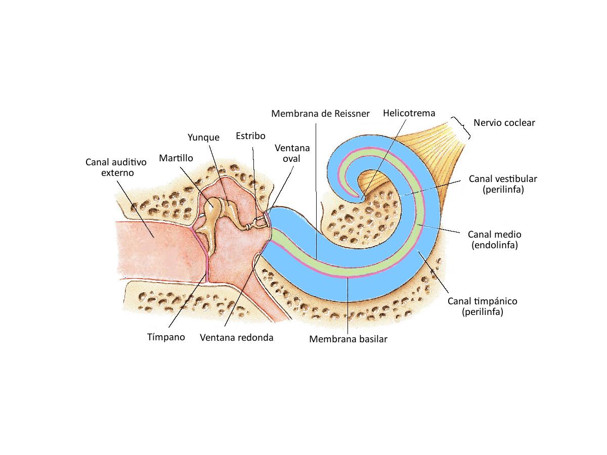 Figura 4. Ilustración de un corte longitudinal de la cóclea desenrollada.