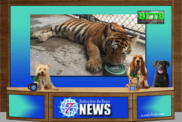 BFTB NETWoof News set with tiger on back screen
