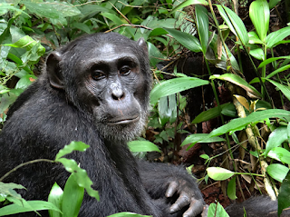 6 days Uganda Safari, uganda gorillas kibale wildlife safari,uganda gorillas chimps primates safari trek, uganda gorillas chimps wildlife safari, Uganda National Parks Safari, birding uganda, uganda bird watching safari