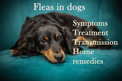 Fleas in dogs treatment, transmission and protective strategies