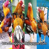 Ciri khas Warna Ayam Biring Kuning