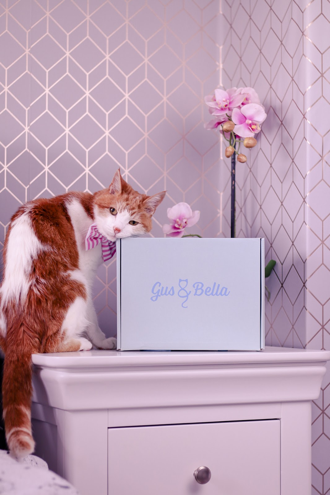 Photo of Teddy, a ginger and white cat on a white bedside table rubbing against the blue gus & bella box