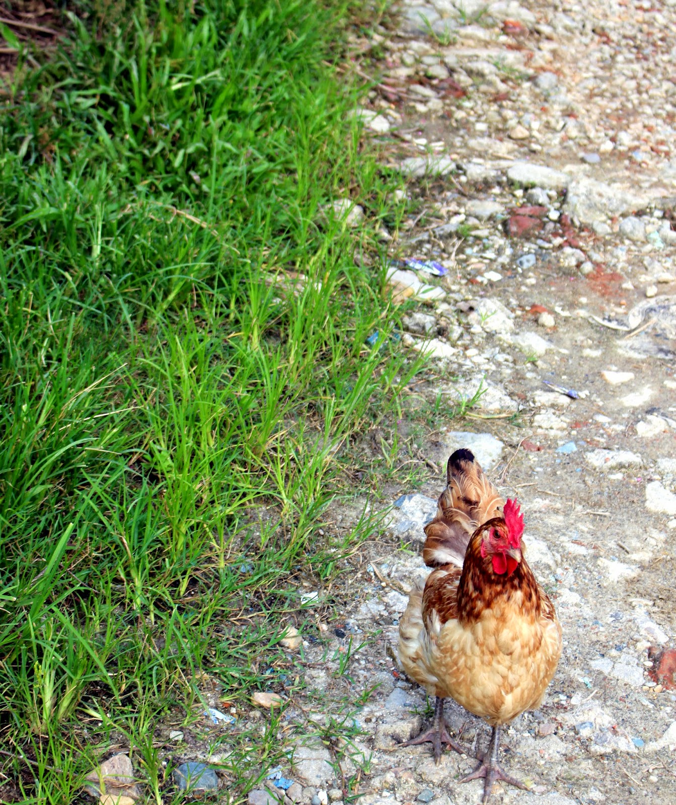Nepal, chicken, nature