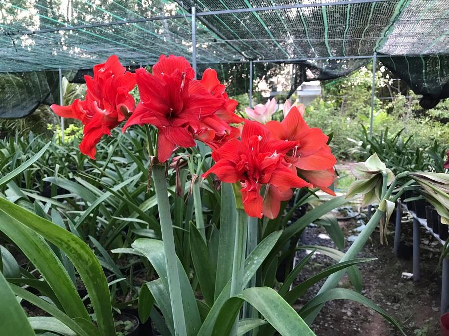 Hoa lan huệ Sa Đéc 2