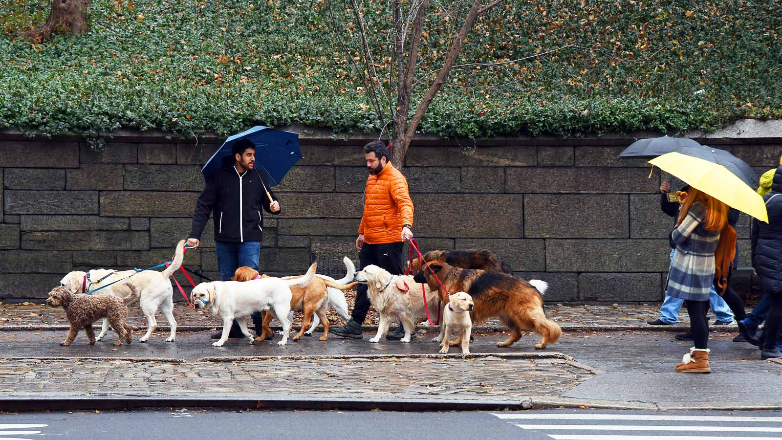 Dogs of New York City dog walkers