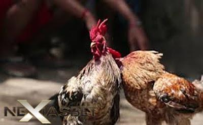 S128 Apk Ayam Aduan Live Yang Ternama Seindonesia - Nexiasbet88.info