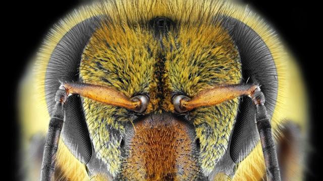 Científicos revelan por qué las 'abejas asesinas' son más agresivas