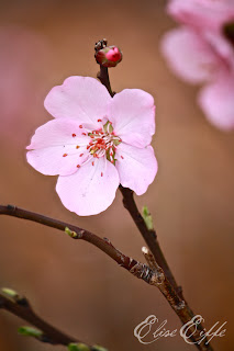 Single Cherry Blossom