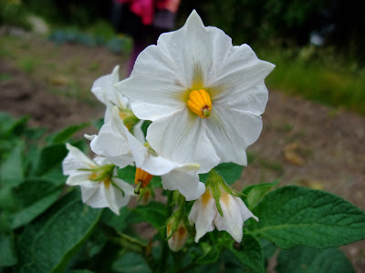 Herbal Picnic Potato