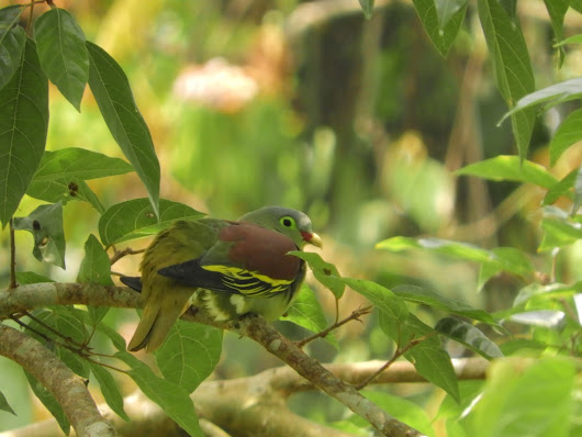 Adorable Thick Billed Green Pigeon