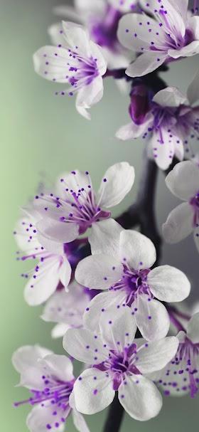 خلفية زهور البتلات البيضاء و المياسم الإرجوانية