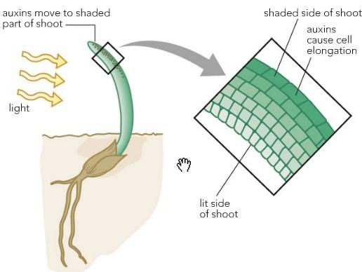 Effetti di Luce e Auxina sulle Cellule