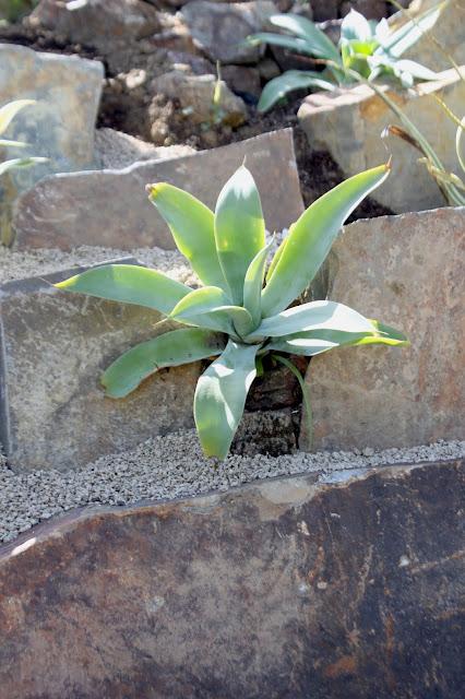 Agave pedunculifera growing in rock crevice