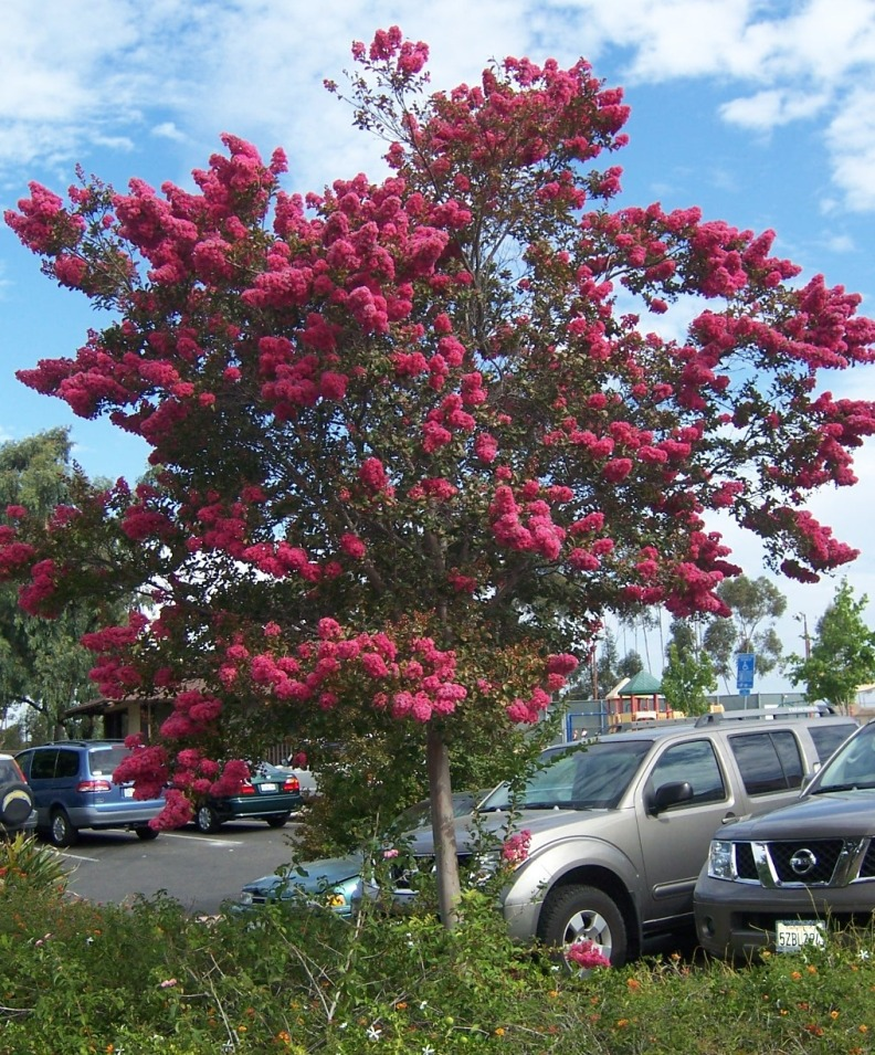 Crepe Myrtle For Fire Wood