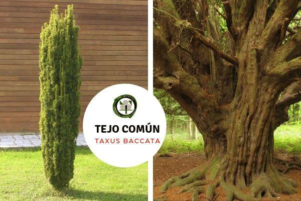Los tejos, Taxus baccata, han sido árboles sagrados en diferentes culturas del Norte de España