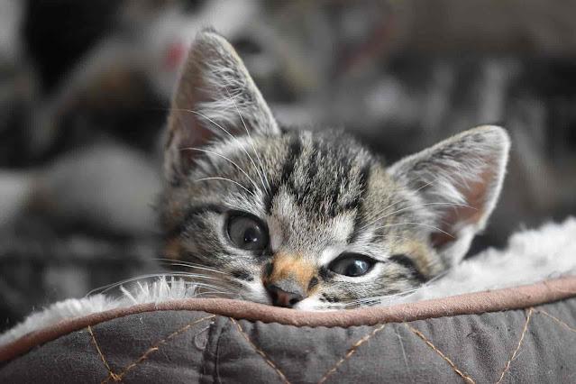 Pourquoi la socialisation des chatons est si importante