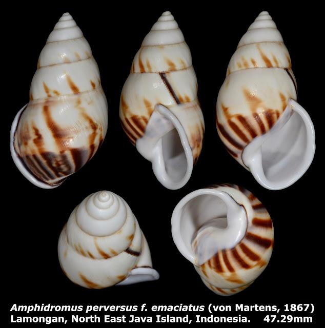 Amphidromus perversus f. emaciatus 47.29mm
