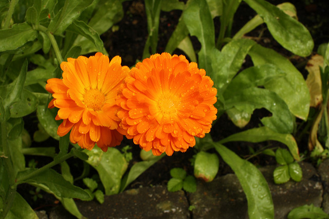 Szybko Kwitnace Kwiaty Ktore Mozna Uprawiac Z Nasion