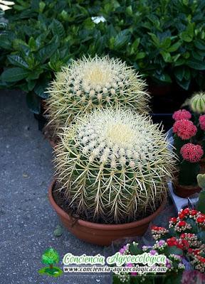 cactus redondos y espinosos