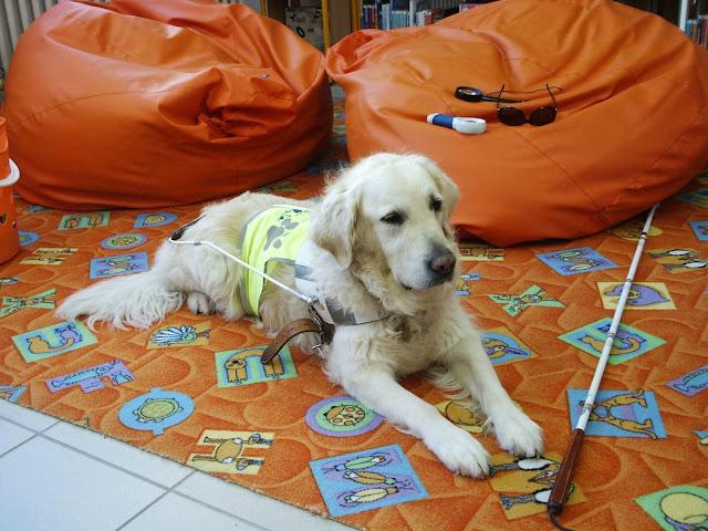 Vodící pes Priscilla leží v postroji na koberci