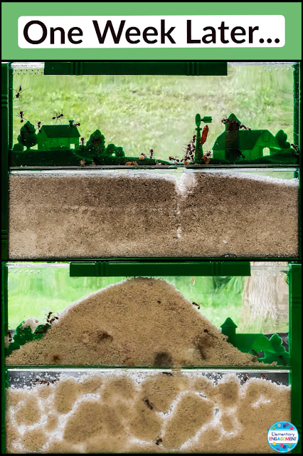 Having an ant farm is a great way for students to see how animals change the environment.
