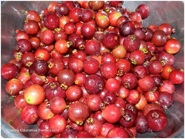 Frutos del Arazá - Chacra Educativa Santa Lucía