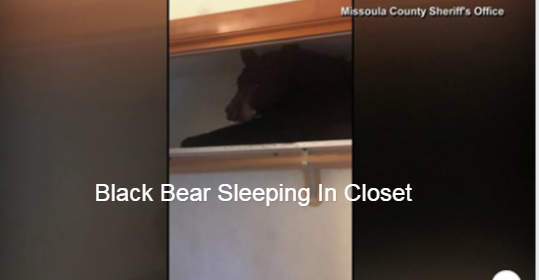 WATCH Black bear found in Montana home