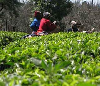Picking Tea Leaves for White African Tea