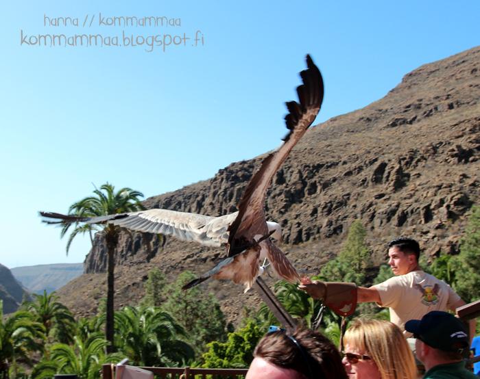kotkat haukat linnut lintu haukka kotka birds of prey palmitos park gran canaria kokemuksia kanariansaaret espanja